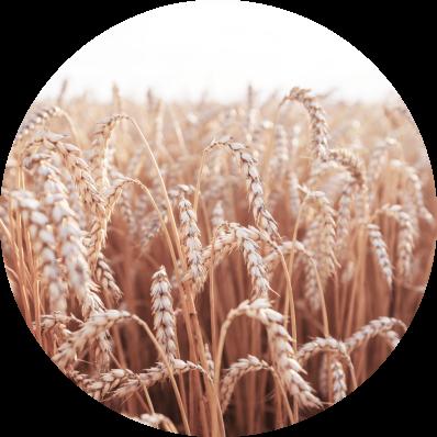 Максимальний врожай високої якості